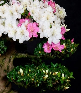 Prebonsai Blume und Frucht